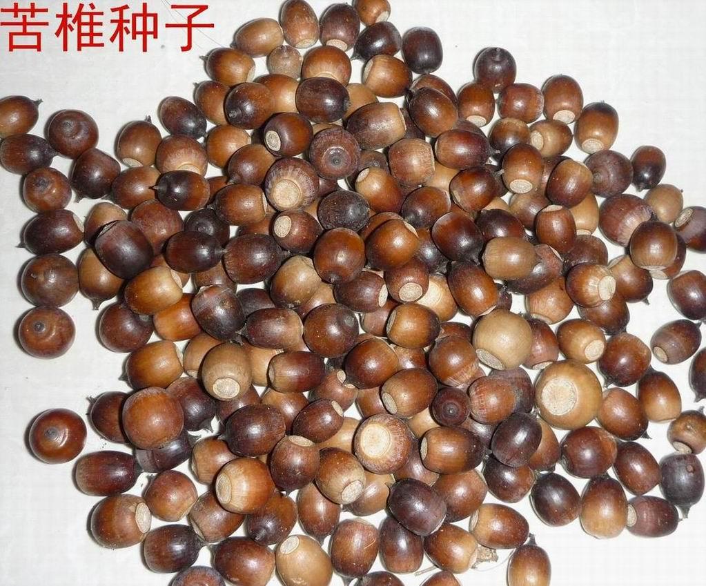 桂林苦椎种子价格