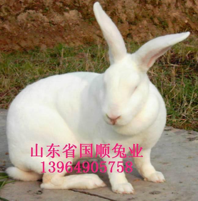 供应山东长清獭兔肉兔养殖