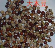 大木豆种子图片