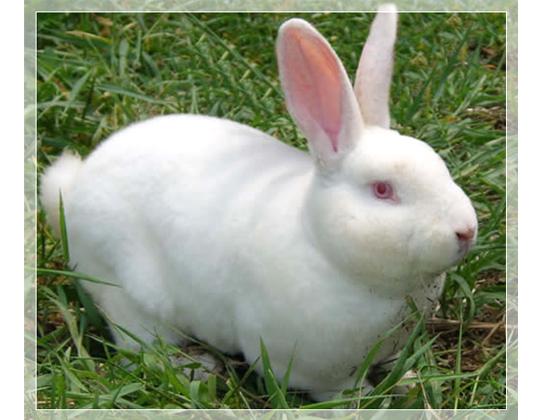 兔子兔子养殖场设计图-兔皮毛   兔皮毛样板图转发分享(   | 提示:左右点击翻图   供应哪种獭