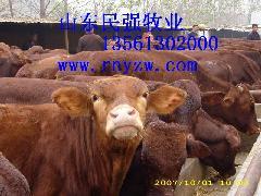 供应新疆克孜勒苏柯尔克孜养牛的利润