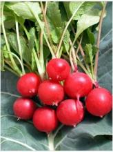 供应水果萝卜种子樱桃萝卜种子
